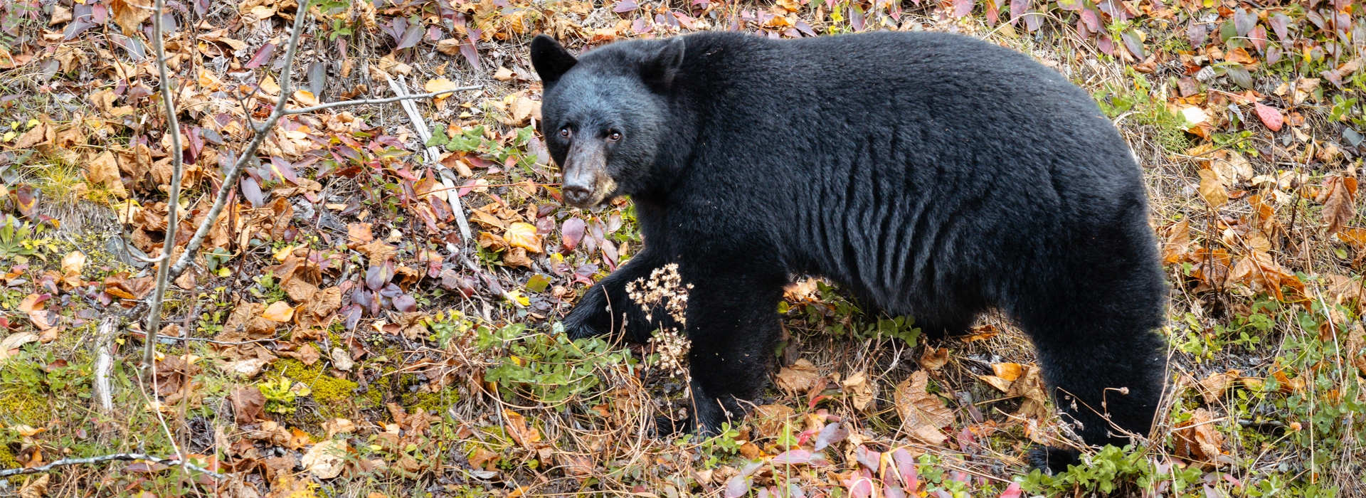 High Success Guided Maine Bear Hunts
