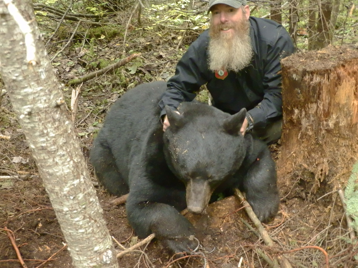 World Class Guided Maine Black Bear Hunts